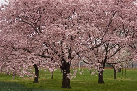 cherry blossom tree l okame cherry blossom tree for sale online the tree center