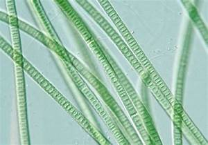 oscillatoria | Oscillatoria Cell | Protist - Algae | Pinterest