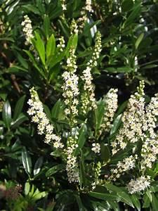 Echter Lorbeer Winterhart : kirschlorbeer winterhart ist der kirschlorbeer winterhart ~ Michelbontemps.com Haus und Dekorationen