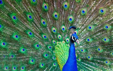 colorful peacock peacock colorful feathers 4243324 1920x1200 all for
