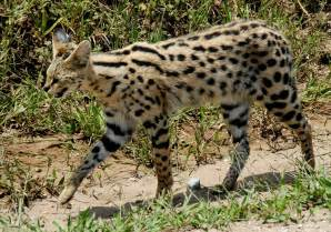 serval cats cat it s a cat that looks like a leopard with