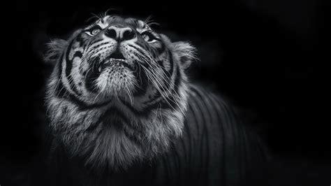 wallpaper tiger dark black hd  animals