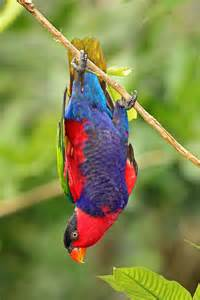 Black-capped Lory Birds