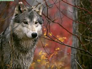 Wolves photos (I)