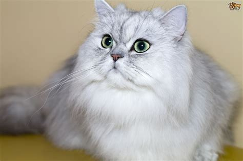 Persian Cats And Polycystic Kidney Disease Pets4homes