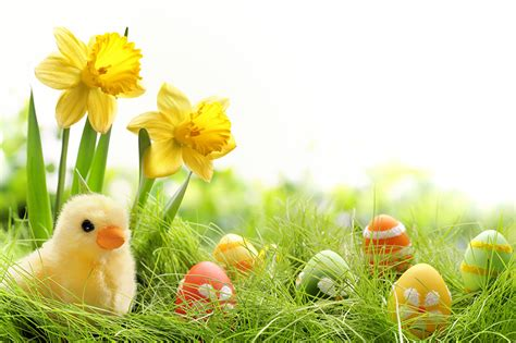 Pictures Easter Chicks Eggs Daffodils Grass Holidays