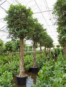 Decorfolia Interior Landscapers - Brochure - Ficus