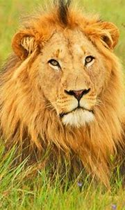 30 Ferocious Yet Engaging Lion Pictures   Naldz Graphics ...