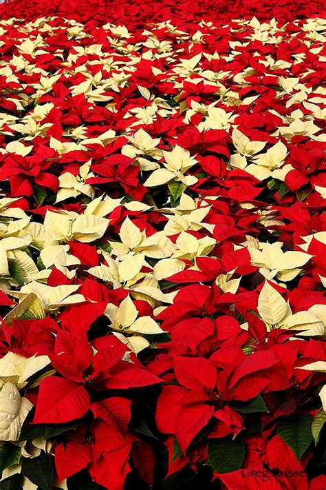 alpenglow images poinsettia photographs  greg russell