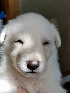 Burgin Snowcloud German Shepherd Puppy For Sale White