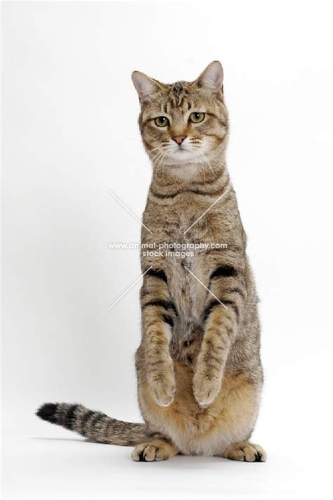 Animal Photography  Brown Mackerel Tabby Cat, Standing Up
