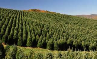 wholesale christmas tree farm powers tree farm