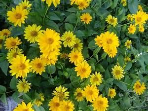 Gelbe Winterharte Pflanzen : gro e liste mit nektarpflanzen f r bienen und hummeln die netz lupe ~ Markanthonyermac.com Haus und Dekorationen