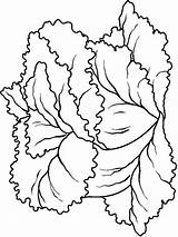 Lettuce Coloring Pages Vegetables Recommended Mycoloring sketch template