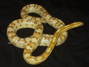 Corn snake - Amber morph. Ambers are Caramel morphs that ...