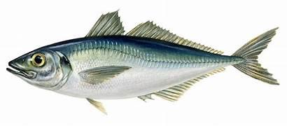 Mackerel Horse Fish Trachurus Master Trout Speckled