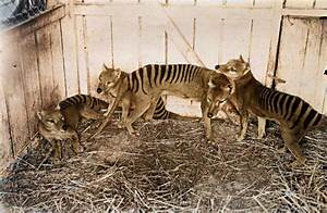 Thylacine Pups in color by Pudgemountain on DeviantArt