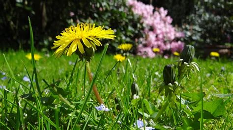 how to kill dandelions how to get rid of dandelions tomlinson bomberger