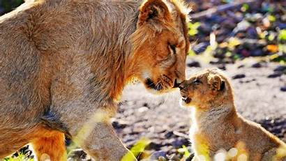 Animals African Wallpapers Africa Lions Safari Lion