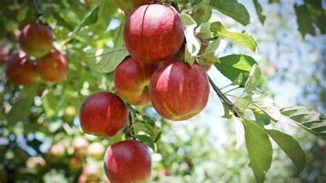 Apple Tree  101 Clip Art