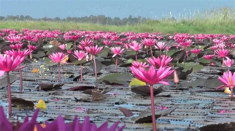 pink lotus flower lake udon thani thailand hd wallpaper