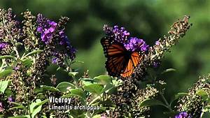 Butterflies  Camouflage And Mimicry