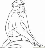 Baboon Baboons Hamadryas Coloringpages101 Babouin sketch template