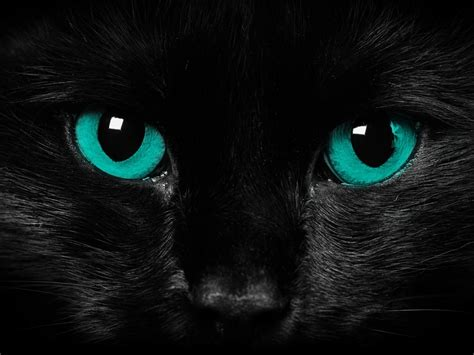 cats eye animals zoo park black cat wallpapers blue cat