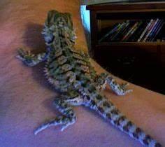 Reptile Pets Direct: High Orange Bearded Dragon | love my ...