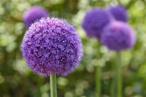 allium colors 27 jaw droppingly beautiful plants that will get your neighbors talking