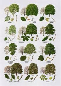 trees broad leaved dendrology search marketing and plants