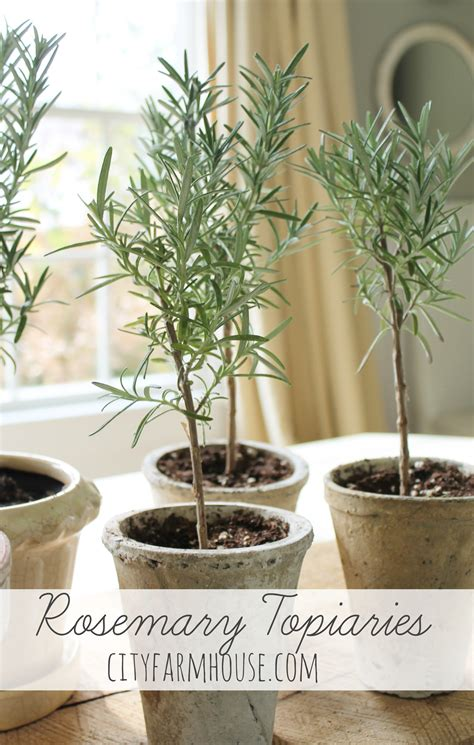 rosemary topiary diy rosemary topiaries tutorial tips for growing your own city farmhouse