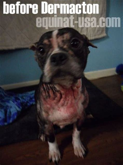 Treating A Boston Terrier With Allergies Dermacton Reviews