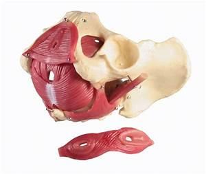 Female Pelvis With Detachable Pelvic Floor Muscles  12