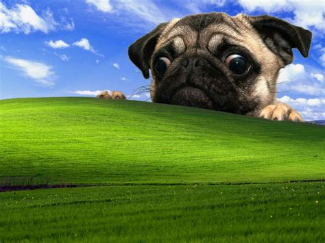 animal wallpaper fawn pug  microsoft windows field