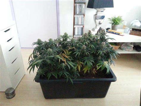 rendement culture cannabis interieur 28 images culture de cannabis 224 r 233 colter graines