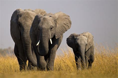 african elephant orphaned  poaching face  aggression