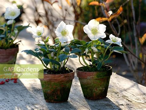growing hellebores in containers gap gardens helleborus niger christmas star princess christmas roses in pots image no