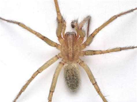 house spider oregon spiders of oregon what s lurking in your home or garden