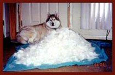 siberian cat hair shedding with a husky july 2005 with lupus the