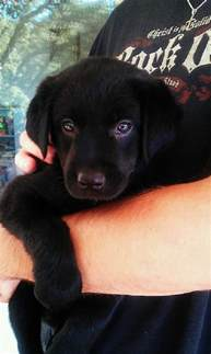 Cutest Black Lab Puppies in the World
