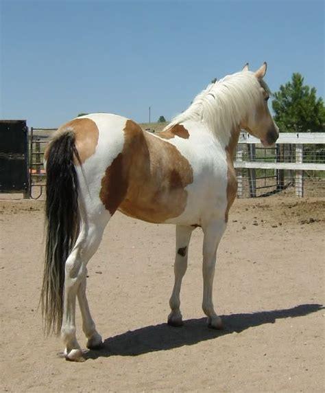 Buckskin Horse Color Genetics