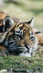 All sizes   Sumatran Tiger Cub   Flickr - Photo Sharing!