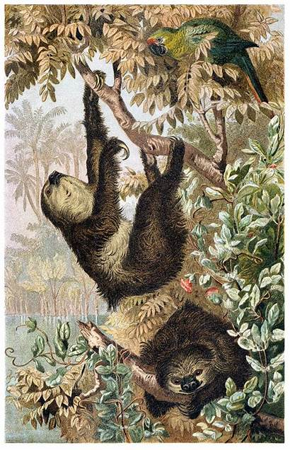 Sloth Toed Illustrations Animal Illustration 1900 Animals