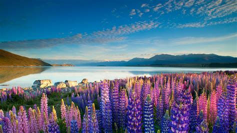 Colorful Flowers Lupins Lake Tekapo Mountains Sky With ...