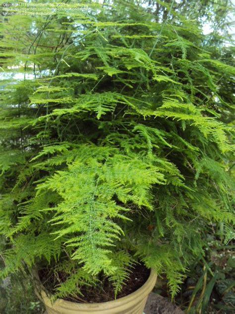 asparagus fern ferns and morning sun on