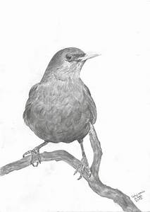 Blackbird Drawing