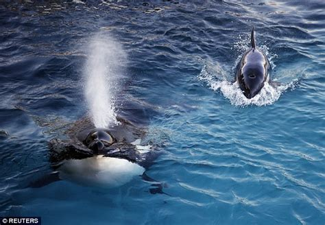 researchers teach orca  talk   blowhole