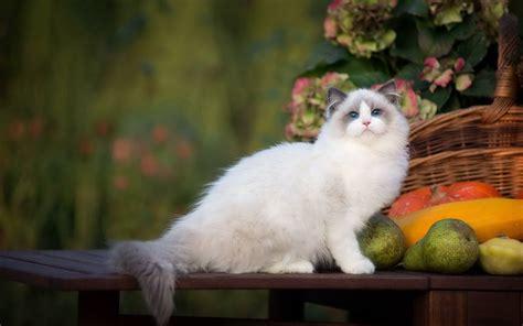 布偶猫可爱呆萌高清电脑壁纸_桌面壁纸_mm4000图片大全