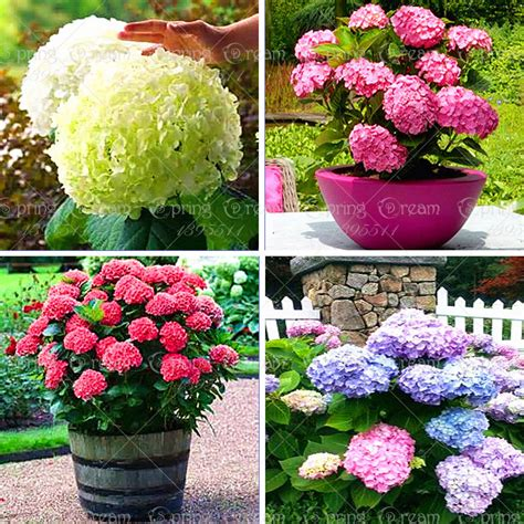 20pcs bag mix colour hydrangea seed mixed hydrangea flower seeds china hydrangea bonsai viburnum